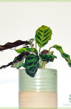 Calathea Insigne - lancifolia - kopen en verzorgen