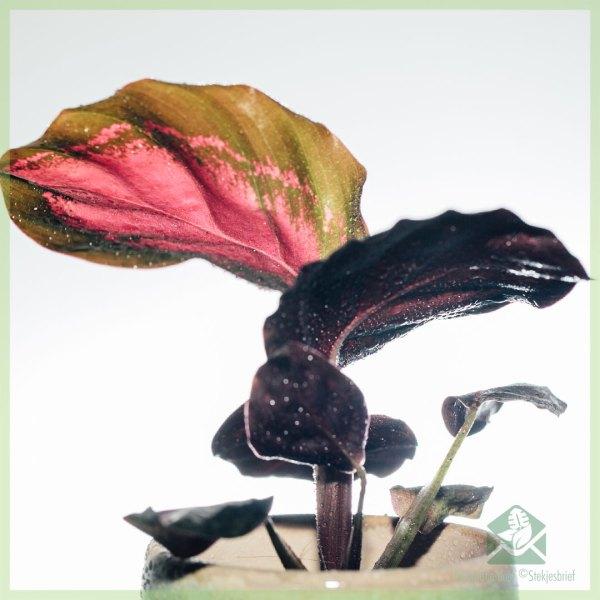 Calathea Roseopicta Rosy Crimson kopen