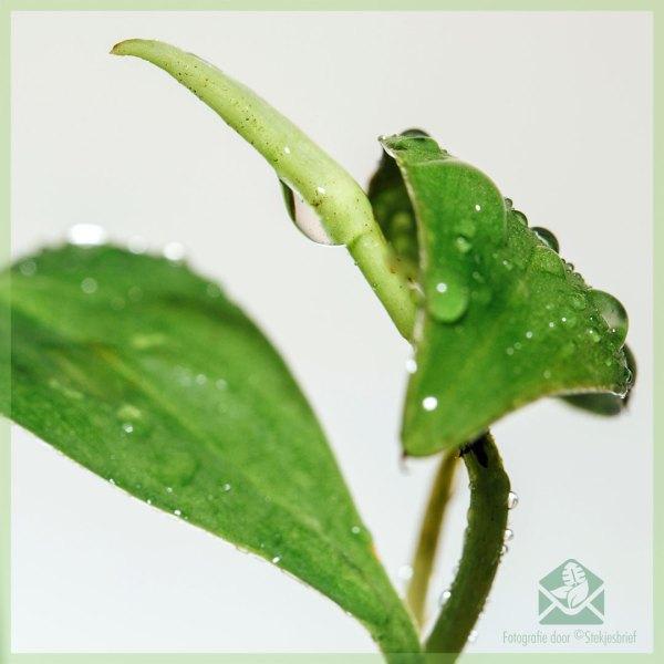 Philodendron scandens stekje kopen v