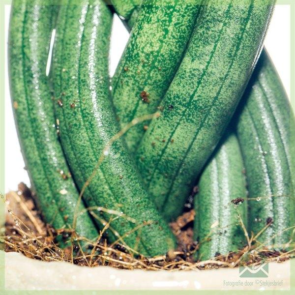 Sansevieria Twist miniplant kopen
