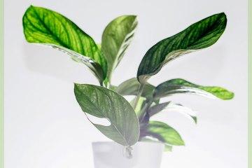 Monstera Pinnatipartita Philodendron kopen en verzorgen