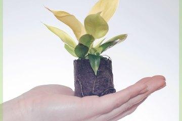 Philodendron Rush Lemon miniplant kopen