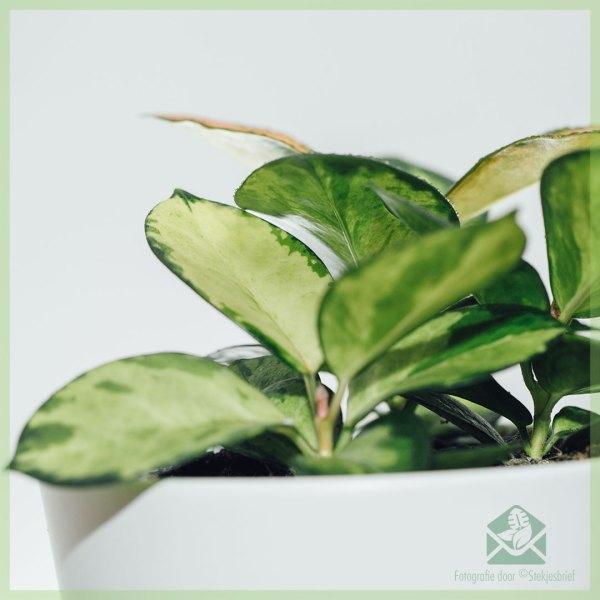 Hoya carnosa tricolors plantjes kopen