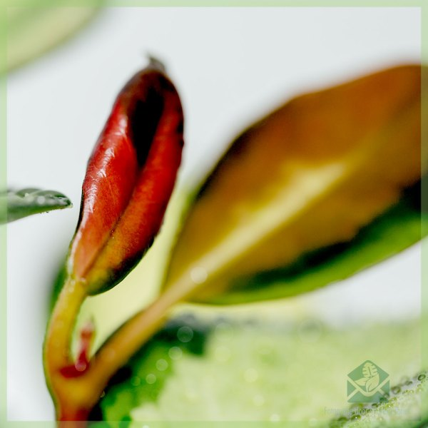Hoya carnosa tricolor kopen