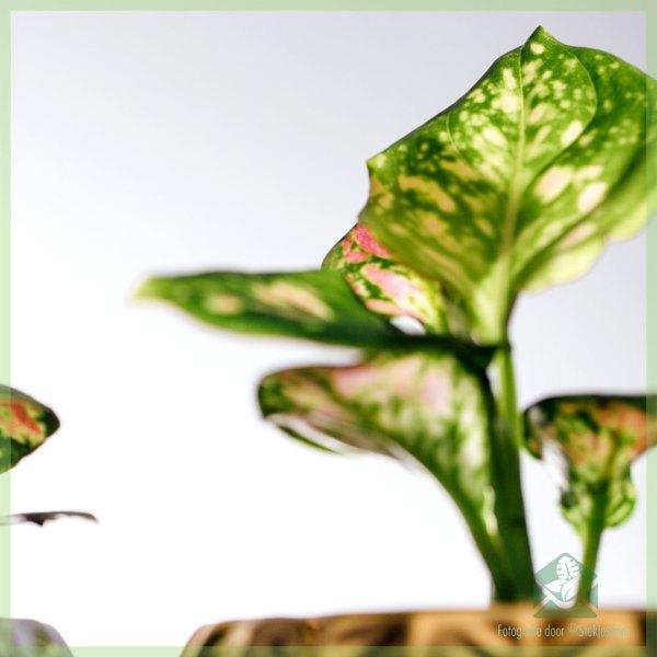 Aglaonema Green Pink Dot kopen en verzorgen