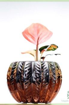 Aglaonema Hybride Pink kopen en verzorgen