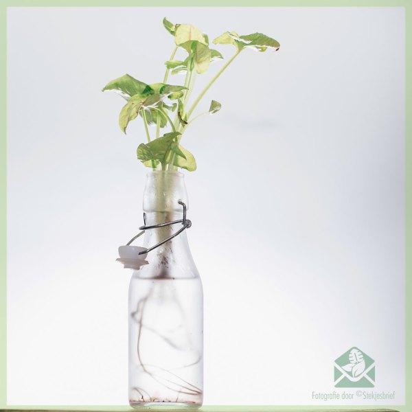 Hydroponie syngonium in 2 st flessen met water