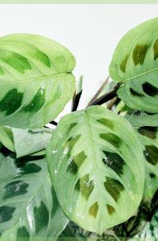 Maranta Leuconeura Green Stripe kopen