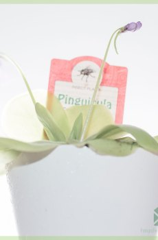 Pinguicula vulgaris vleesetende vetplant kopen