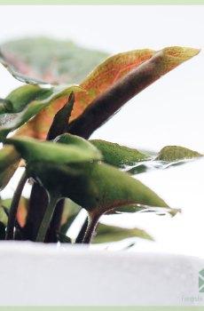 Syngonium Roxanne kopen en verzorgen