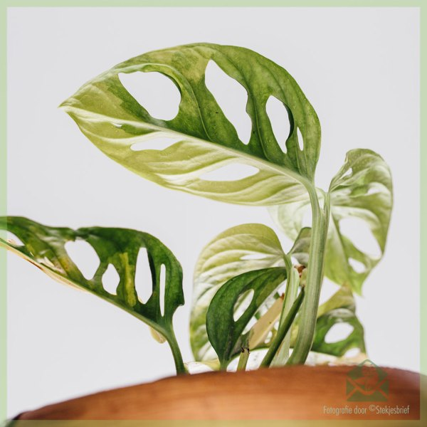 Monstera obliqua adansonii variegata - pot 15 cm kopen