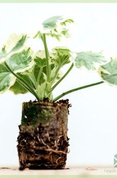 Geranium geelwit bontbladig geworteld stekjes kopen