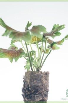 Geranium roodbruin bontbladig geworteld stekjes kopen