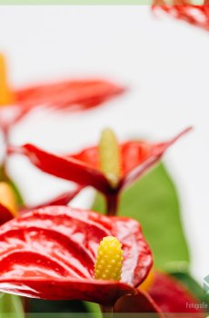 Anthurium Red Elegance kopen