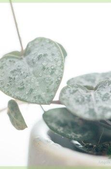 Chinees Lantaarnplantje (Ceropegia woodii) kopen