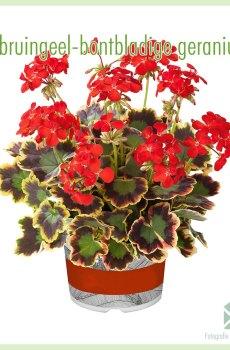 Geranium bruingeel bontbladig geworteld stekjes kopen