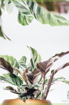 Calathea White Fusion kopen en verzorgen