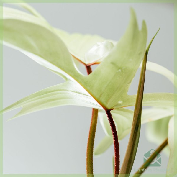 Philodendron Florida Ghost kopen