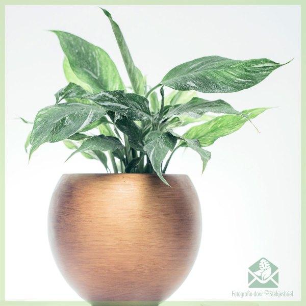Spathiphyllum Diamond Variegata - Lepelplant kopen