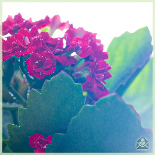 Kalanchoe kalanchoë bloeiende mini vetplantje