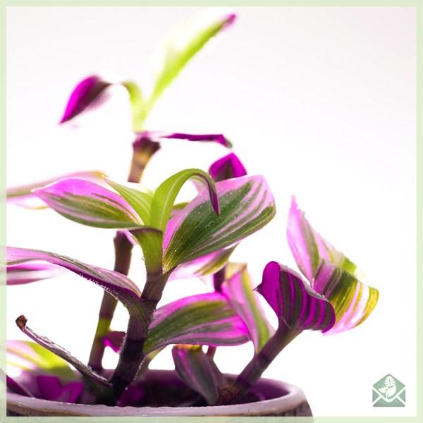 Tradescantia albiflora Nanouk geworteld stekje kopen