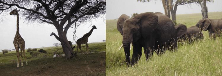 girafs and elephants