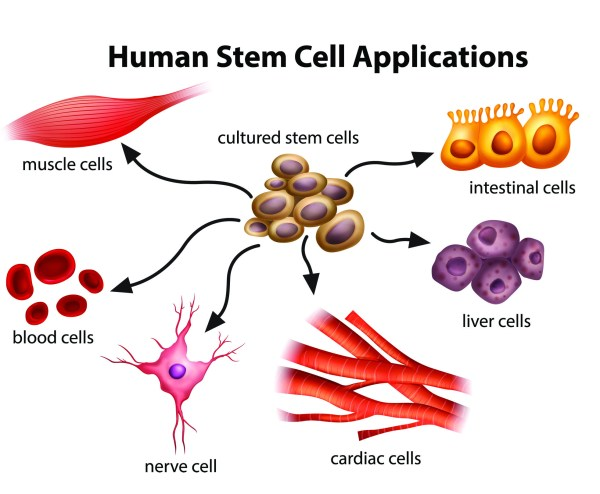 Potential Of Human Stem Cells