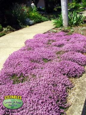 Thymus-Psuedolanuginosus-Wooly-Thyme-curbside