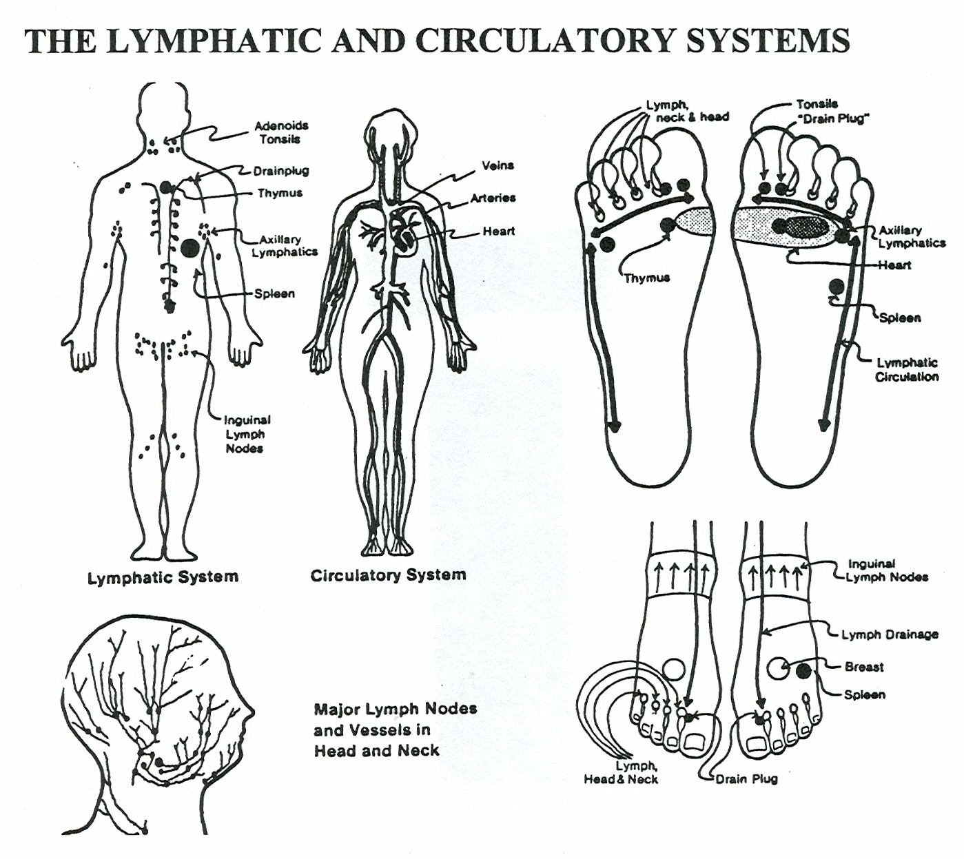 Difference Between Immune System And Lymphatic System
