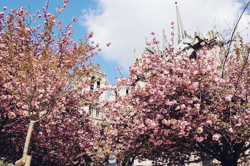 Notre Dame cherry blossom