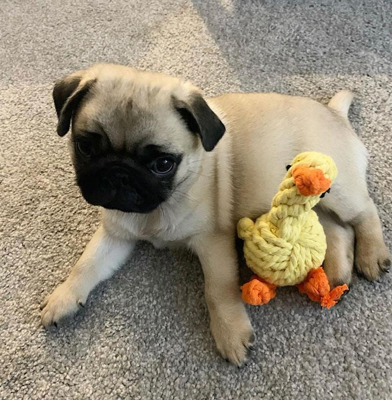 Arthur pug