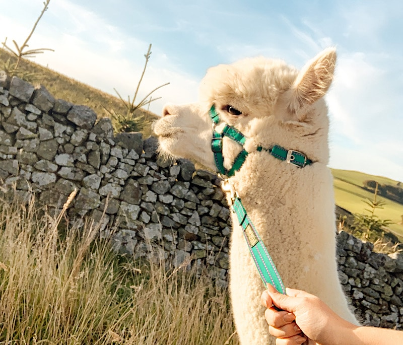 Sunset alpaca trek at Beirhope Farm, Scottish Borders