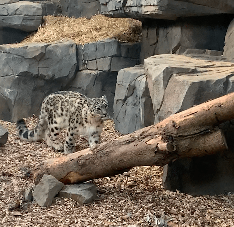 Visiting The Snow Leopards At Northumberland Zoo