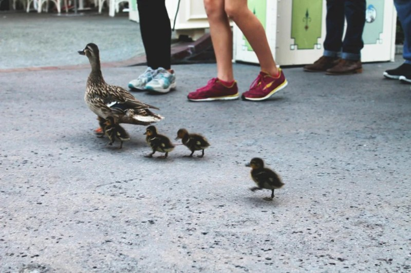 Disneyland ducks // justalittlebitlouder