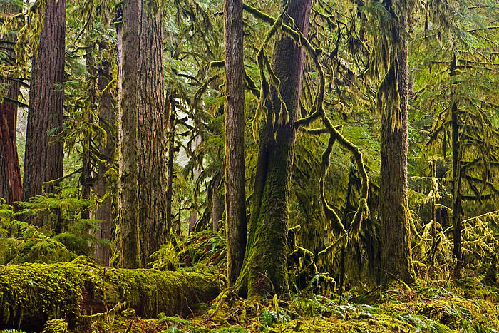 Best old growth forest hikes: Old Growth Complexity Carbon River Mount Rainier National Park Washington Stephen Penland Photography
