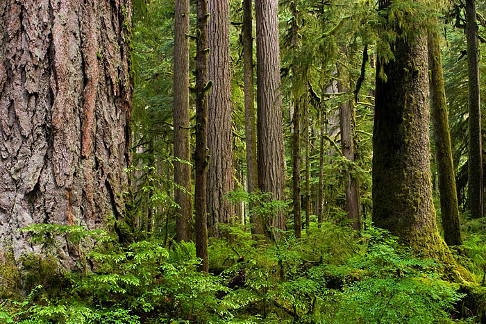 A short hike to see an old growth forest in olympic national park. Ancient Forest Complexity Carbon River Mount Rainier National Park Washington Stephen Penland Photography