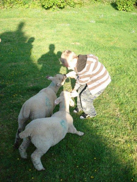 Boy-Feeding-lambs