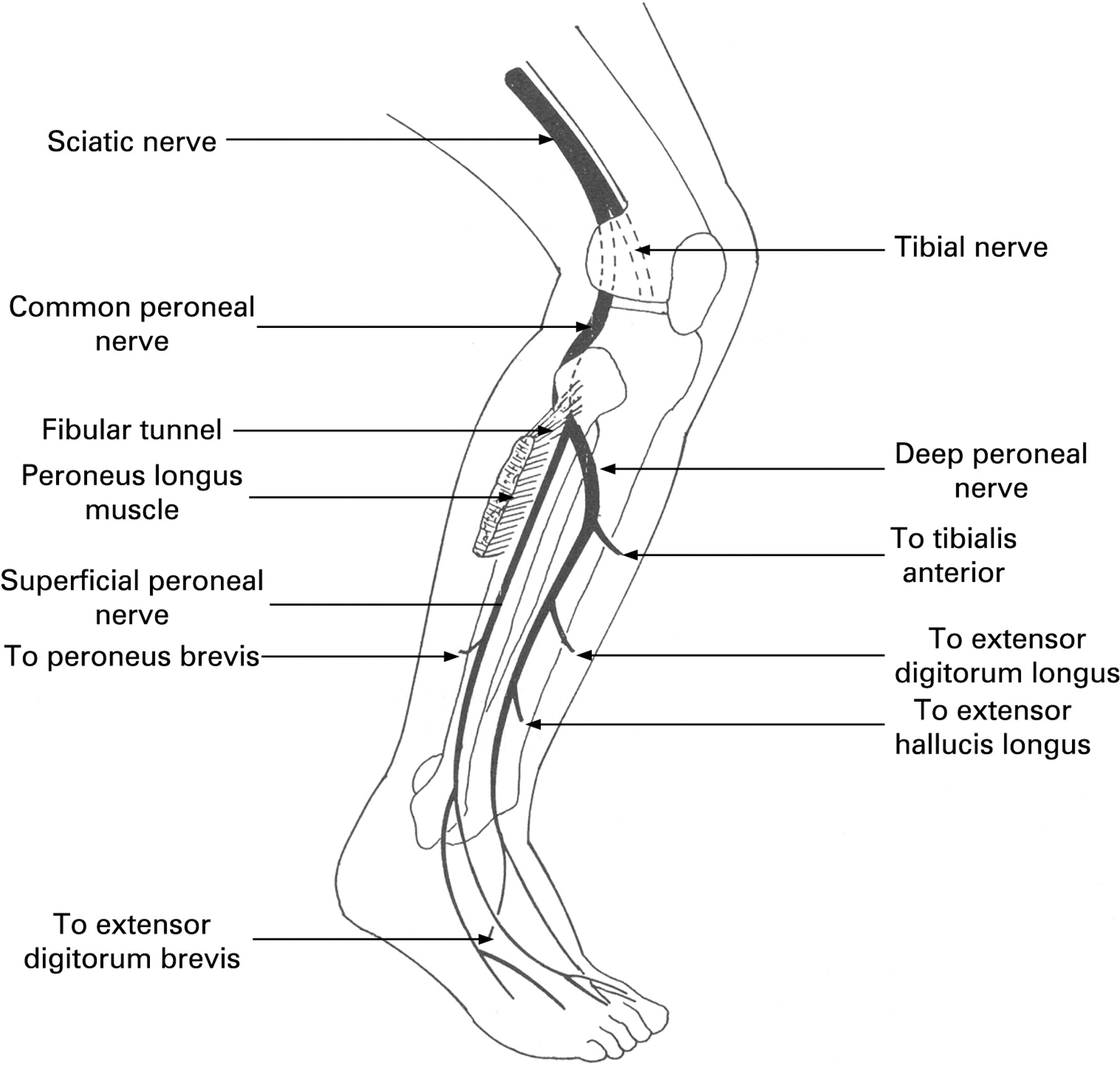 diagram of sciatic nerve pathway broan bathroom fans wiring 732 common peroneal stepwards
