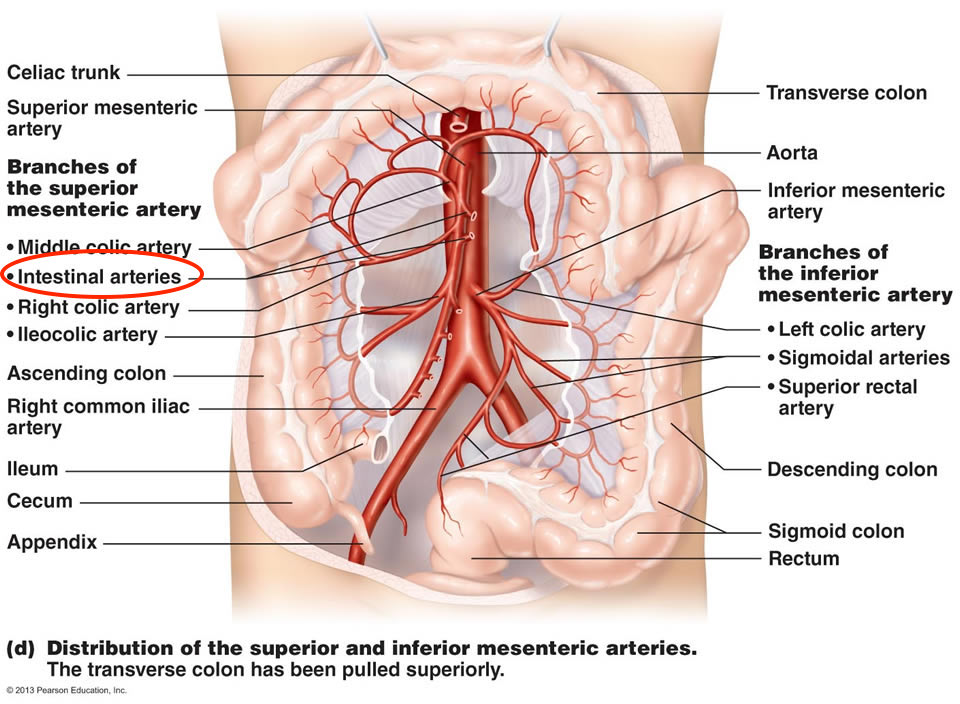 intestinal arteries – stepwards, Human body