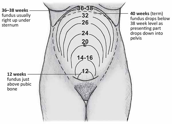 Image result for fundal height measurement