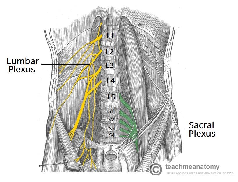 diagram of sciatic nerve pathway rs485 2 wire connection sacral plexus - stepwards