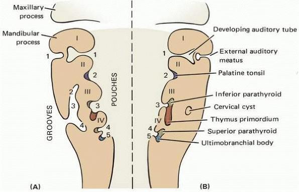 Pharyngeal Branchial Pouches Stepwards