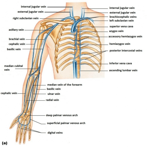 small resolution of basilic vein