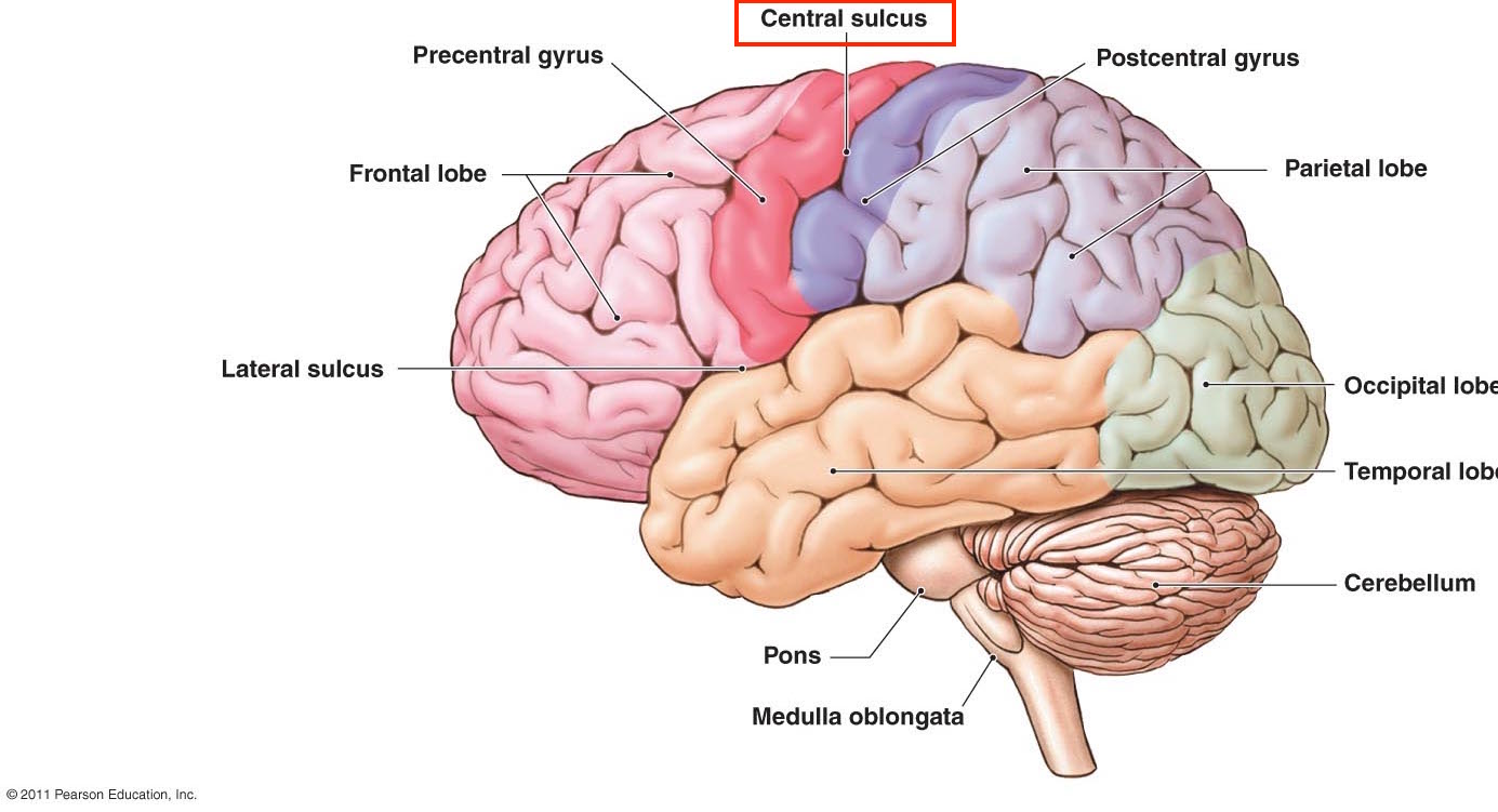 Axial Brain Anatomy Cortex Images