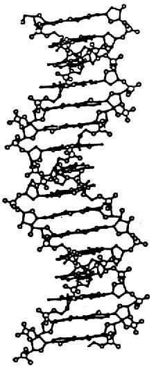 Isoforme C De L'Adn; c-form dna; dna, c form