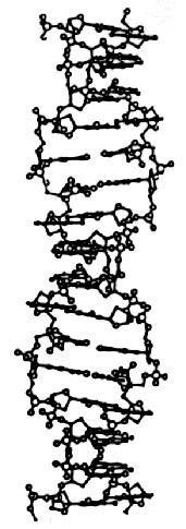 Isoforme Z De L'Adn; adn zigzag; adn-z