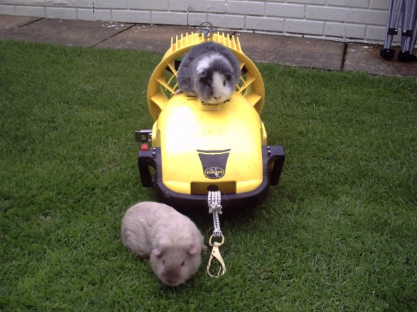 pig-on-scoot
