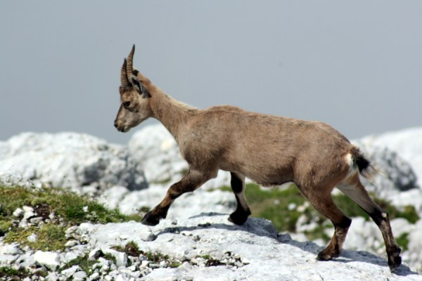 A Chamois trots across the limestone cliffs.