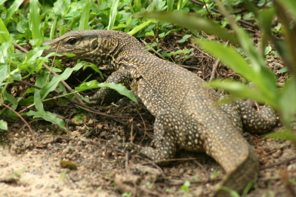 A Water monitor I met in the botanic gardens. He's about half a metre long.