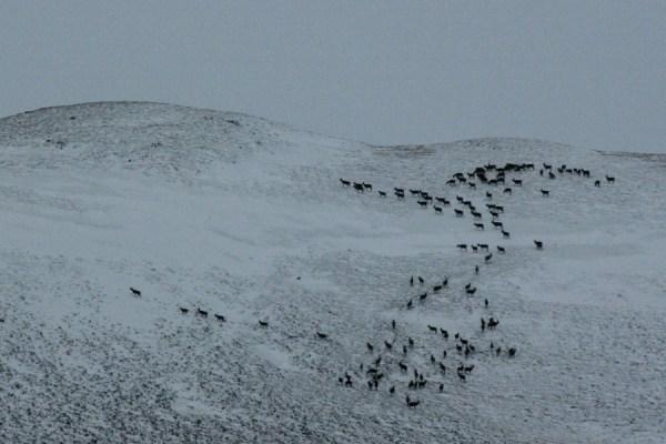 A big herd of deer flowing up the hill.